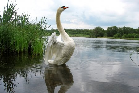 Beautiful swan on a lake