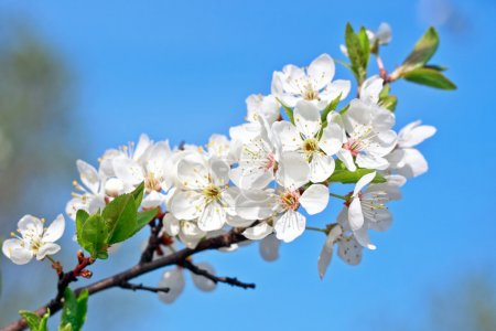 Apple tree , bunch of white flowers