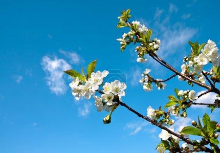 Photo pour Fleur de pomme - image libre de droit