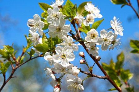 Photo pour Pommier fleuri - image libre de droit