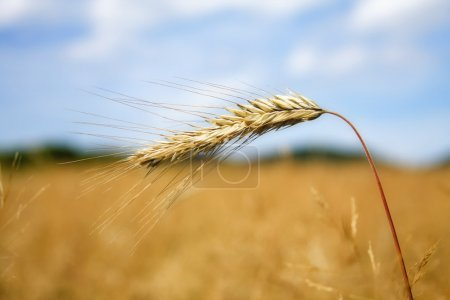 Photo for Wheat before harvest - Royalty Free Image