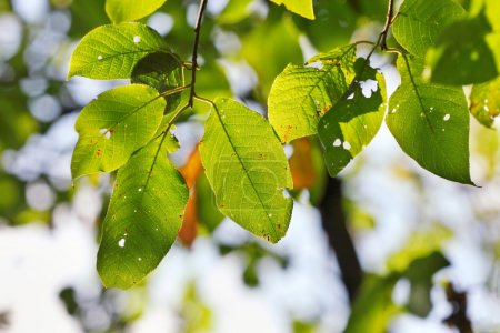 Photo for Green leaves - Royalty Free Image