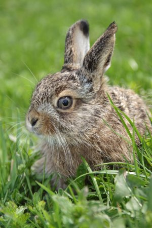 Photo for Small little hare sitting in the green grass - Royalty Free Image