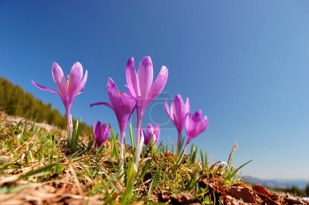 Blossoming crocuses