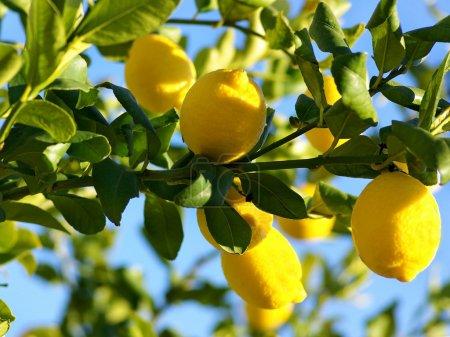 Photo for Lemon tree. - Royalty Free Image