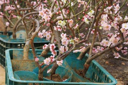 Photo pour Boutures de cerisiers greffés avec des fleurs au printemps. - image libre de droit