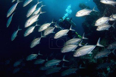 Photo pour Une grande école de thon argent et plongeur nageant au-dessus d'un récif de corail tropical sur une aventure de plongée sous-marine - image libre de droit