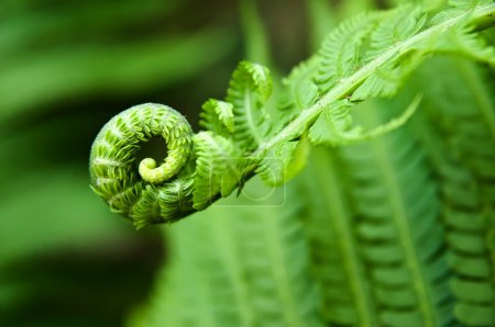 Young fern leaf