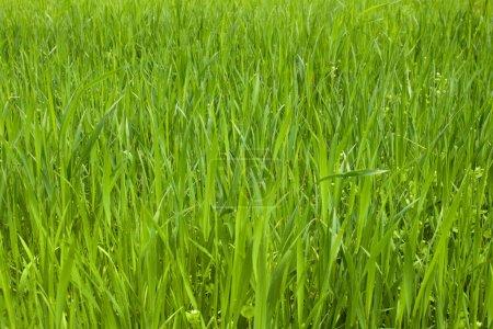 Photo pour Fond de texture herbe verte - image libre de droit
