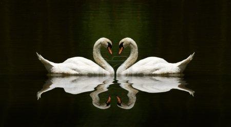 Photo pour Cygne amour réflexion sur un beau lac - image libre de droit