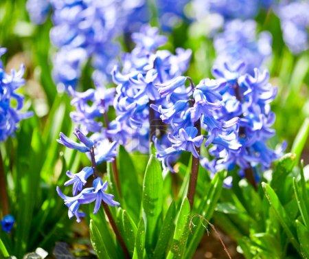 Perfumed hyacinth flowers