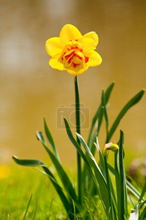 Yellow daffodil (Narcissus)