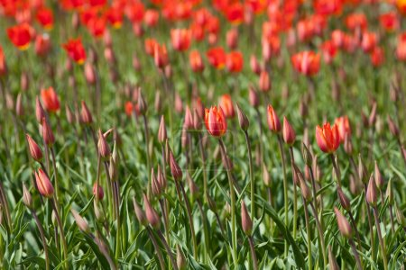 Red tulips in a sunny day