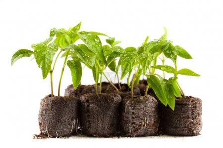 Photo pour Petites plantes de poivre avec gouttes d'eau sur eux dans les boulettes de tourbe (charbon), isolés sur blanc - image libre de droit
