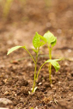 Photo pour Semis de poivre peu planté en plein air dans un jardin - image libre de droit