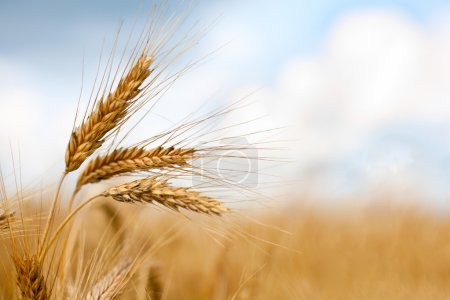 Photo for Close up of ripe wheat ears against beautiful sky with clouds. Selective focus. - Royalty Free Image