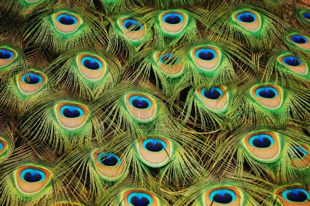 Photo for Colorful peacock tail feathers - Royalty Free Image
