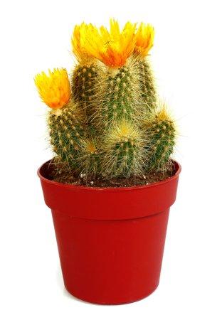 Foto de Floración cactus aislado sobre fondo blanco - Imagen libre de derechos