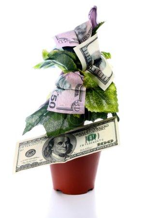 Photo pour Arbre à argent isolé sur fond blanc - image libre de droit