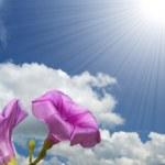 Постер, плакат: Morning glory flower
