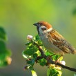 Tree sparrow sitting on the branch of blooming app...