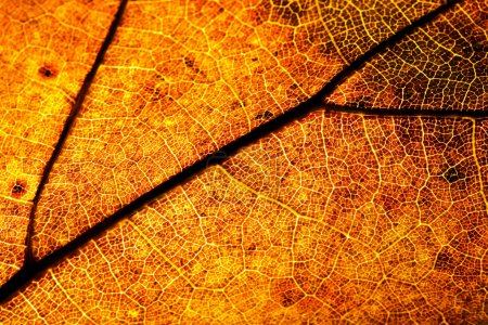 Photo pour Macro shot de la feuille d'automne - image libre de droit