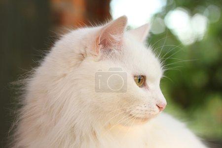 White lady-cat