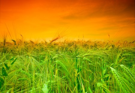 Photo for Sunset wheat field - Royalty Free Image