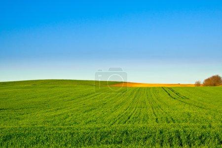 Foto de Trigales verdes con azul - Imagen libre de derechos