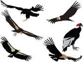 Condors collection