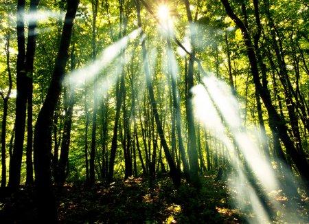 Photo pour Poutres ensoleillés dans la forêt - image libre de droit