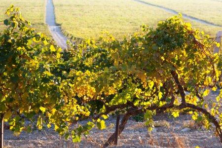 Photo pour Vignoble de la montagne de Crimée - image libre de droit