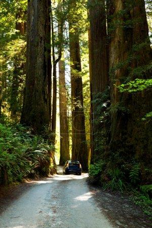 Photo pour Sequoia - image libre de droit