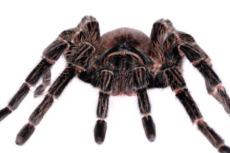 Big spider Tarantula
