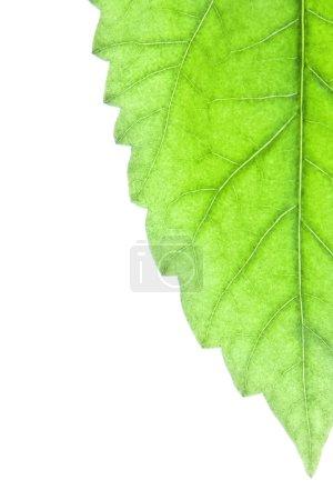 Photo pour Feuille verte - image libre de droit