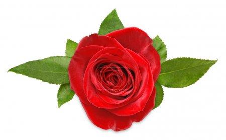 Photo pour Rose rouge avec des feuilles isolé sur blanc - image libre de droit