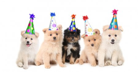 Five Pomeranian Puppies Celebrating a Bi