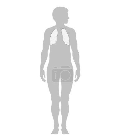 Photo pour Poumons humains et le contour d'un homme, isolé sur fond blanc - image libre de droit