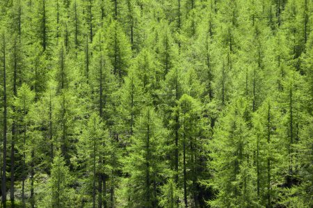Full image of a coniferous trees in the forest...