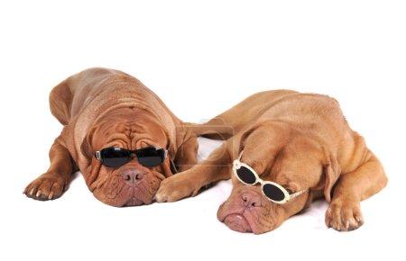 Photo pour Deux grands chiens dans des lunettes de soleil ressemblant à la mafia - image libre de droit