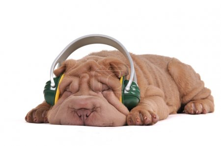 Shar-Pei Music Dreams