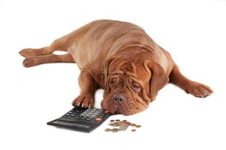 Photo pour Fatigué de dogue de bordeaux, calculer combien d'argent il a jusqu'à la fin du mois - image libre de droit
