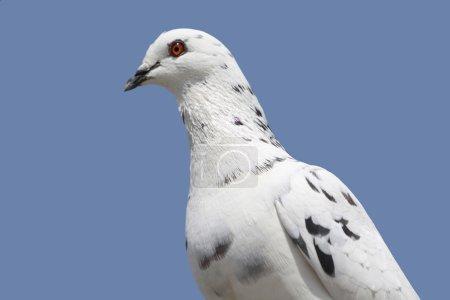 Photo pour Une belle colombe debout, ciel bleu comme arrière-plan . - image libre de droit
