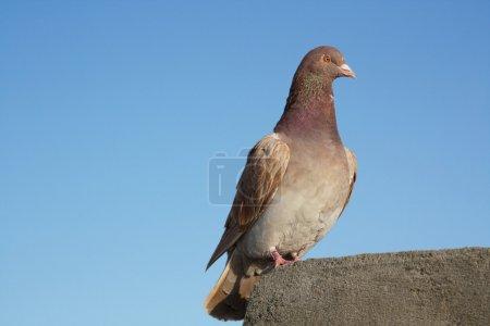 Photo pour Un pigeon porteur ou homing pigeon sur le toit - image libre de droit
