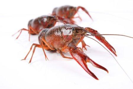 Photo for Three crawfish isolated on white background - Royalty Free Image