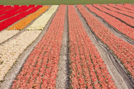 Photo pour Paysage hollandais, champs de bulbes avec tulipes colorées - image libre de droit