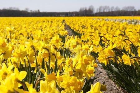 Photo pour Paysage néerlandais : champs de bulbes aux fleurs jaunes jonquilles - image libre de droit