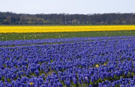 Photo pour Champ de bulbes néerlandais avec des fleurs de jacinthe pourpre - image libre de droit