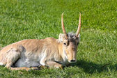 Saiga on background of green grass