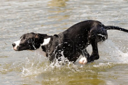 Great Dane dog running in water